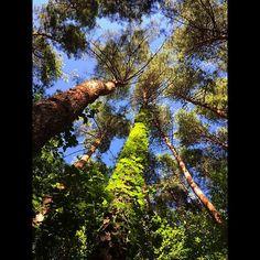【my_favorites0626】さんのInstagramをピンしています。 《☆森〜forest〜♪♪☆ 森の中から 抜けるような青空を真上に見上げた… 木々たちが生い茂る 森の中から空を見上げた… #森 #forest #木 #tree #葉っぱ #leaves  #自然 #nature #空 #sky #青空 #bluesky #icu_nature #nature_special_ #special_biginners_ #forest_masters #forest_gallery #divine_forest #japan_focus #jp_views2nd #phos_japan #cools_japan #japan_of_insta #wp_photo_club #art #bestjapanpics #lovers_amazing_group #ファインダー越しの私の世界  #写真好きな人と繋がりたい》