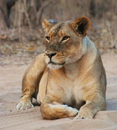 Beautiful lioness by SAFARI AND GUIDE SERVICES PHOTOS, via Flickr