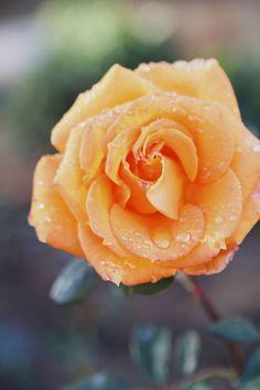 Gingersnap rose