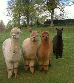 Alpacas Daisy, rose, pansy, and tulip Cute Funny Animals, Funny Animal Pictures, Cute Baby Animals, Farm Animals, Animals And Pets, Alpacas, Cute Alpaca, Baby Alpaca, Carnival Of The Animals