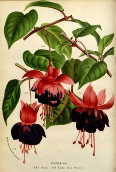 BRINCO DE PRINCESA - Louis van Houtte, botanical illustration, Fuchsias, 1877 Fuchsias grown alongside many of the rural roads of Ireland, blooming in abundance. Vintage Botanical Prints, Botanical Drawings, Antique Prints, Botanical Flowers, Botanical Art, Botanical Gardens, Flower Prints, Flower Art, Illustration Botanique Vintage