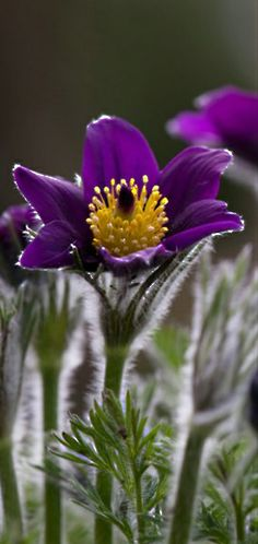 ~~What's your state's flower? Photos of floral emblems from all 50 states ~ this image: Pasque flower, South Dakota | Conde Nast Traveler~~