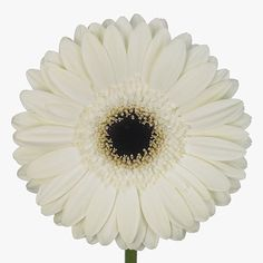 Gerbera White House is a pretty White cut flower.