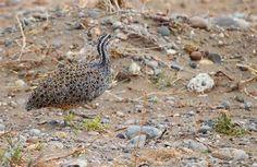Patagonian Tinamou Tinamotis ingoufi - Google Search