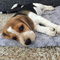 Hound Puppies, Beagle Puppy, Cute Puppies, Cute Dogs, Animal Intelligence, Cool Dog Houses, Cute Beagles, The Perfect Dog, Cute Animal Photos