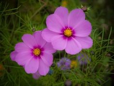 Cosmos Flower Care: Tips For Growing Cosmos - Cosmos plants are an essential for many summer gardens, reaching varying heights and in many colors, adding frilly texture to the flowerbed. Growing cosmos is simple, and this article can help.