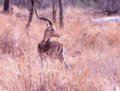 Itala Game Reserve – Erlebnisse in einem Wildreservat in KwaZulu-Natal (Republik #Südafrika) ein Impala-Bock