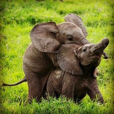 Amo a los elefantes..so sweet my babies.Credit: @thelittletrunksproject - Baby elephants aren't very good at playing leap frog thanks Credit: @kriegerhemingway for allowing us to share this adorable snap. . #elephant #elephants #elephantlove