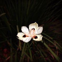 Última Flor do Lácio