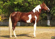 Mangalarga Paulista - stallion Quelato da Janga