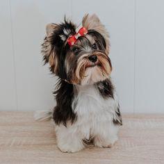 """Denver The Dog on Instagram: """"Empezamos el sábado!!. Nos vamos de paseo, así que pasarlo muy bien como hago yo con mis humanos . Y mirar que mono me ponen. A pesar de…"""" Denver, Terrier, Animals, Instagram, Jumpsuit, Walks, Animales, Animaux, Animal"""