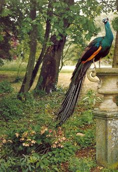 I would love a garden big enough for a regal pair of peacocks to stroll around in...