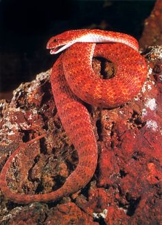 Common Death Adder- found throughout all of Australia.  Fangs point outward to be sure it's venom spreads out and works quickly.