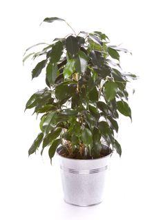 Ficus Benjamina 40/50cm Ficus, Deco Design, Houseplants, Pots, Plant Leaves, Violet, Taupe, Turquoise, Plants
