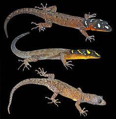 Gonatodes timidus © Philippe Kok / WWF España - Científicos descubren más de 400 nuevas especies en la inmensidad del Amazonas