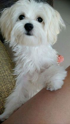 Maltese and Children: Is It a Good Combination - Champion Dogs Teacup Maltese, Teacup Puppies, Maltese Dogs, Cute Puppies, Cute Dogs, Dogs And Puppies, Doggies, Toy Dogs, Animals And Pets