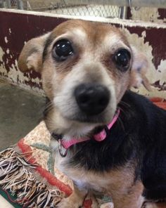 Meet India; spayed - one of two relinquished by owner, a Petfinder adoptable Dachshund Dog | Shelbyville, IN | Welcome to Petfinder!  We received a phone call last Tuesday, February 24 from someone that was...
