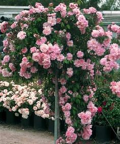 double pink flowering almond   ... ) also known as the Flowering Almond or Double-Flowering Plum