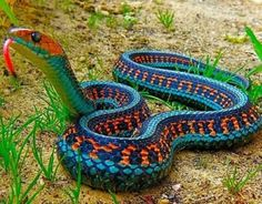 Funny pictures about The Most Colorful Snake: California Red Sided Garter Snake. Oh, and cool pics about The Most Colorful Snake: California Red Sided Garter Snake. Also, The Most Colorful Snake: California Red Sided Garter Snake photos. Pretty Snakes, Cool Snakes, Colorful Snakes, Beautiful Snakes, Colorful Animals, Cute Animals, Exotic Animals, Smart Animals, Crazy Animals