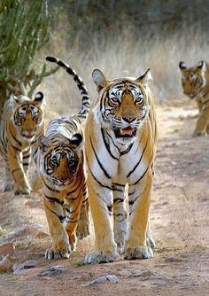 JIM CORBETT NATIONAL PARK TIGER RESERVE RAMNAGAR NAINITAL, INDIA…