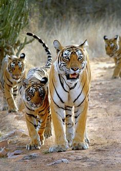 JIM CORBETT NATIONAL PARK TIGER RESERVE RAMNAGAR NAINITAL, INDIA…