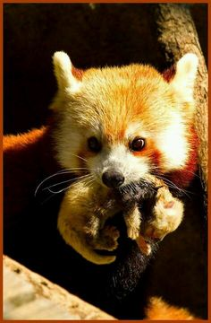 Panda rojo con su cachorro.