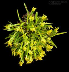 Florzinha de estufa: 0-Acianthera