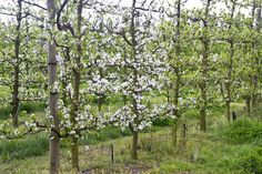 My next project is to learn how to do an Espalier Tree. I bought 2 apple trees last week and I have an ugly vibracrete wall I want to hide, and this will be perfect! The term espalier refers to th. Garden Fencing, Apple Tree, Outdoor Structures, Wall, Plants, Fences, Farming, Poultry, Gates