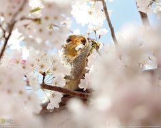 Scoiattolo e ciliegio in fiore Fotografia di Fumiko Yarita, 2008 International Photo Contest
