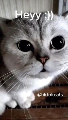 Funny Grumpy Cat Memes, Cat Jokes, Funny Cute Cats, Funny Animal Jokes, Funny Animal Videos, Cute Funny Animals, Funny Animal Pictures, Animal Memes, Cute Baby Animals