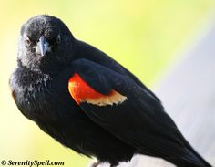 about red-winged blackbirds and their nests