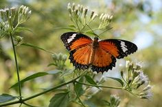 """A photo catalogue of the """"most beautiful butterflies in the world."""""""