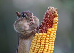 Chipmunk eating corn #funny