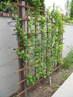 Espalier Fruit Trees, Fruit Tree Garden, Veg Garden, Vegetable Garden Design, Edible Garden, Citrus Garden, Vegetable Gardening, Container Gardening, Backyard Trees