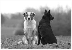 Hunde! von Australian Kelpie