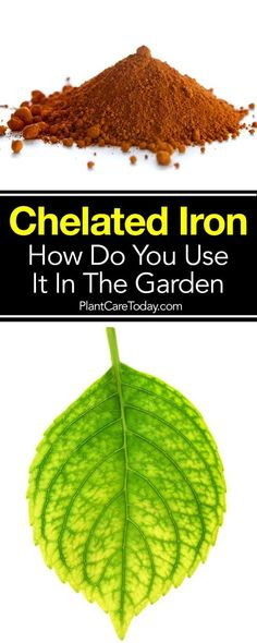 Chelated Iron can help many plants affected with Iron chlorosis or iron deficiency which shows up in plants as unsightly yellow leaves [LEARN MORE]