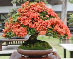 Gorgeous Pemphis Bonsai in the BCI Convention 2016 in the Philippines. These pretty plants are native to the country and were in plentiful supply at this exhibition. Bougainvillea Bonsai, Flowering Bonsai Tree, Bonsai Tree Care, Indoor Bonsai Tree, Mini Bonsai, Bonsai Art, Bonsai Plants, Bonsai Garden, Garden Trees