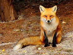 Red Fox - Download From Over 56 Million High Quality Stock Photos, Images, Vectors. Sign up for FREE today. Image: 19304038