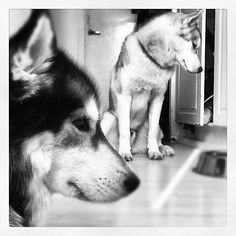 Two of our three Huskies - Roope and Jaska
