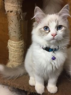 Terrific Photo Ragdoll Cats orange Style The larger, weak Ragdoll is really a lovable addition to every family pet spouse's home. Branded with regard t. Wise Animals, Homemade Cat Food, Orange Kittens, Nine Lives, Orange Fashion, Fabric Squares, Primates, Quilt Sets, Square Quilt