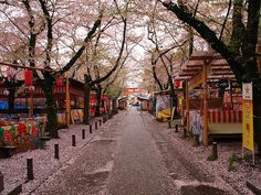 Kyoto, Japan - the beautiful cherry blossom!