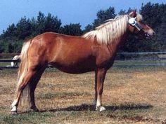 Gotland, Russ or Skogsruss Pony