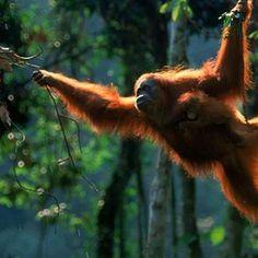 Orang-Utans sind die größten heute noch lebenden Baumsäugetiere sowie die einzigen überlebenden Großen Menschenaffen Asiens.