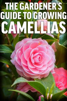 Camellias have been the pride of southern gardeners for many years. Add these beautiful blooms to your garden. Garden Yard Ideas, Lawn And Garden, Garden Pots, Garden Balls, Fruit Garden, Camellia Tree, Camellia Plant, Growing Flowers, Growing Plants