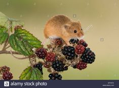 Stock Photo - A European Harvest Mouse eating Blackberries Blackberry Tattoo, Harvest Mouse, Mouse Photos, Fox Painting, Mouse Tattoos, Stock Photos, Blackberries, Mice, Vectors