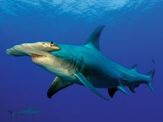 Hammerhead shark ≈ we have lots in our sea/river at Brooklyn NSW Been swimming with them no prob so far. !!!!!