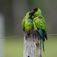A couple of nanday parakeet. Pantanal wetlands of Brazil. This region right in the center of south america concentrates a huge abundance of birds. Wild Life, Nanday Conure, Parrot Bird, Tropical Birds, Cockatoo, Parakeet, Beautiful Birds, Bird Houses, Art Gallery