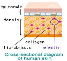 cross sectional diagram of human skin