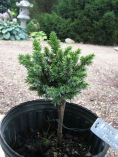 Rich's Foxwillow Pines Nursery, Inc. - Picea rubens – 'Pocono' Red Spruce