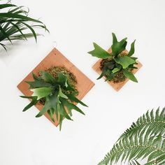 """We had so much fun on a few recent custom staghorn fern orders that we decided to add a new size to the line-up! Welcoming the large Staghorn Fern Plaque to our mounted epiphytic family today. Coming in at 12"""" x 12"""", this one makes a bold statement. Bright green moss, copper details, and a whole lot of plant. 🌿Check out the deets on the web shop - link in profile!"""